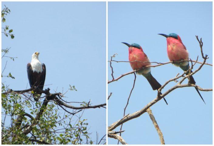 some of Chobe's bird life.